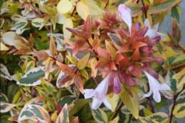 Abelia Grandiflora Kaleidoscope - 2Ltr