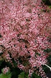 Astilbe Inshriach Pink 2L