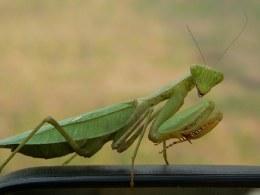 Praying Mantis Africa - Sphodromantis Viridis