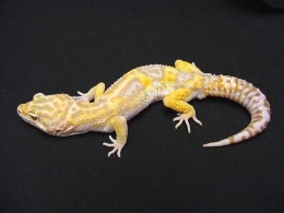 Hypo Jungle Leopard Gecko