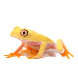 Albino Red eye Tree Frog