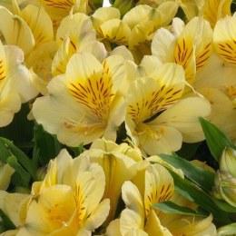 Alstroemeria Inticancha Yellow