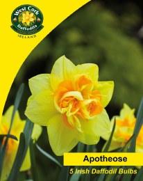 Daffodil - Narcissus 'Apotheose' - 3Kg