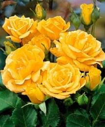 Arthur Bell Floribunda Rose - 3 Litre