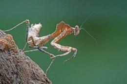 Asian Dead Leaf Mantis