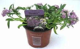 Bacopa Lavender 10cm