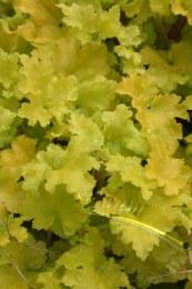 Heuchera Lime Marmalade 2L