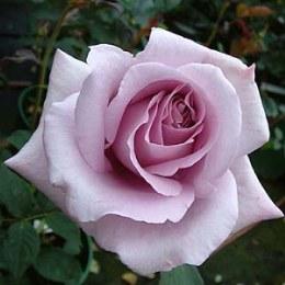 Blue Moon Hybrid Tea Rose - 3 Litre