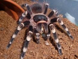 Brazilian B&W Tarantula Spider
