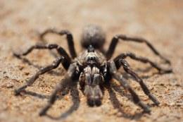 Burst Horned Baboon Spider