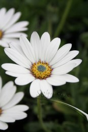Osteospermum Sea Spray 2L