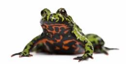 Oriental Fire Bellied Toad 1-2cm
