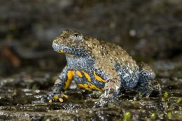 Apennine Yellow Bellied Toad