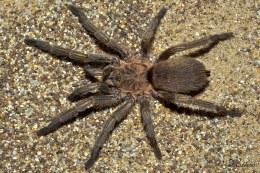Exilis Bronze Tarantula