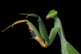 Giant Blue Mantis
