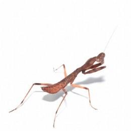 Guinea Shield Mantis