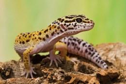 Gecko Leopard - Hatchling