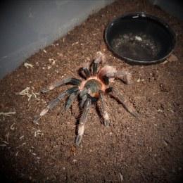 Santa Catalina Spider