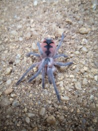 Spiderling Cascada Birdeater