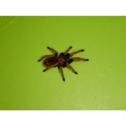 Spiderling Thai Black Tarantula