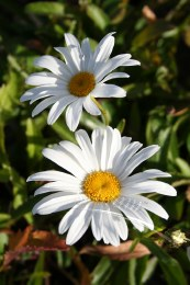 Chrysanthemum Snowlady 2L