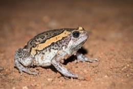 Chubby Frog M-L