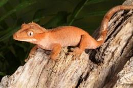 Ciliatus Crested Gecko M-L
