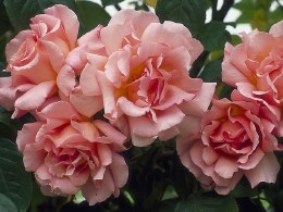 Compassion Climbing Rose - 3 Litre