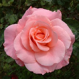 Congratulations Hybrid Tea Rose - 4 Litre