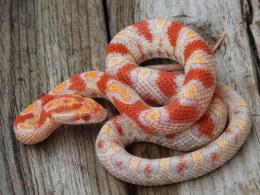 Corn Snake Sub Adult