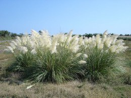 Cortaderia Selloana Mini Pampas Grass
