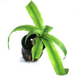 Crinum Thaianum