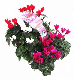 Cyclamen Mini in 6 Pack