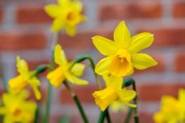 Daffodil - Narcissus Tete A Tete 10 Bulbs