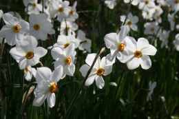Daffodil - Narcissus Verger