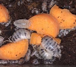 Dairy Cow Isopod 10 pack