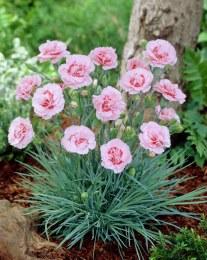 Dianthus Doris
