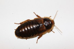 Dubia Roaches Adult