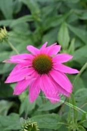 Echinacea PowWow Wild Berry 2L