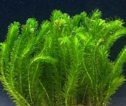 Elodea Densa - Oxygenating Aquatic Plant