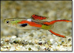 Endler Guppy Assorted - Med/Large