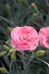Dianthus 'Romance'