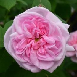 Fantin Latour - Climbing Rose - 5.5 Litre