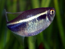 Black Neon Tetra - XL - SPECIAL OFFER BUY 5 GET 1 FREE