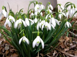 Galanthus Nivalis | Snowdrops Pack of 25