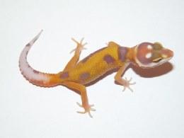 Jungle Leopard Gecko