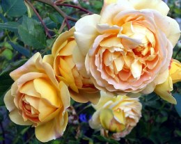Golden Celebration Hybrid Tea Rose