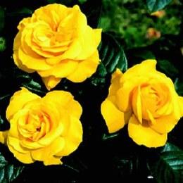 Golden Wedding Floribunda Rose