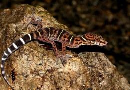 Vietnamese leopard gecko