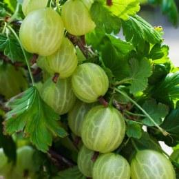 Gooseberry Invicta 2ltr